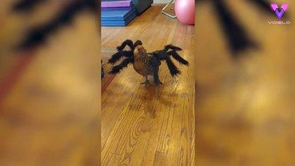 Una gallina siembra el pánico en el corral con su disfraz de araña