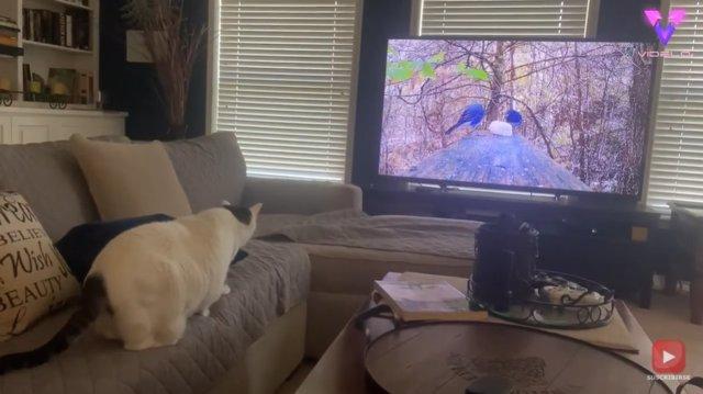 Este gato se estampa contra la pantalla de la televisión al ver un par de pájaros