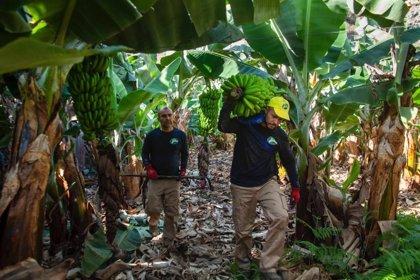 """Productores de plátano califican de """"varapalo para España"""" que la UE siga sin resolver el futuro del POSEI"""