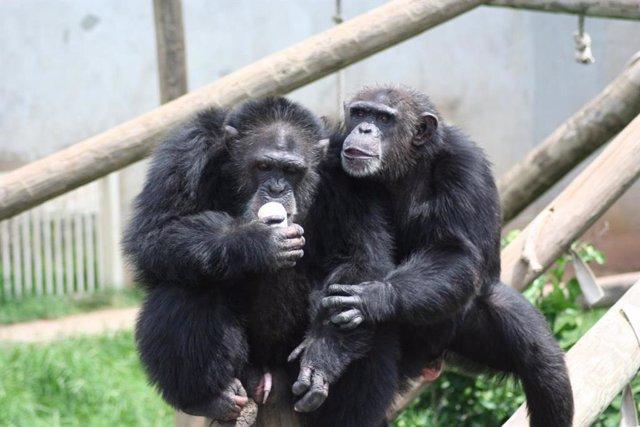 Chimpancés Tina y Martin, estudiados en el Centro Nacional para el Cuidado de Chimpancés en Texas.