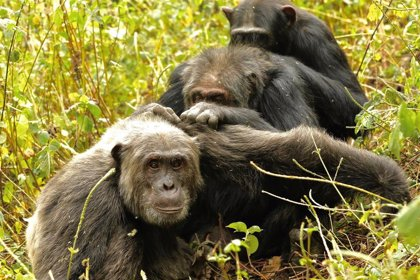 Los chimpances también seleccionan con quién socializan al envejecer