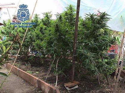 Las incautaciones de marihuana crecieron un 436% en Extremadura en 2019 y las detenciones por tráfico de drogas un 35%