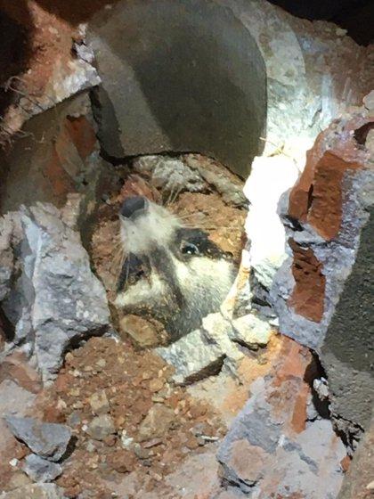 Rescatan un mapache atrapado en una cañería de Torres de la Alameda