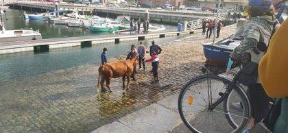 Rescatada por mar la vaca que llevaba una semana atrapada en un acantilado de Laredo
