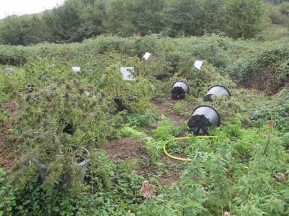 Desmantelada una plantación de marihuana con 37 plantas en una zona de monte de Gamiz-Fika (Bizkaia)