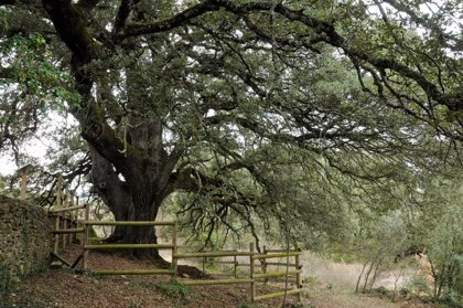 La carrasca de Lecina, que tiene más de mil años, opta a ser Árbol Europeo del Año