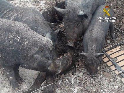 La Guardia Civil pide inhabilitar para tener animales a la dueña de una finca con seis atestados por maltrato