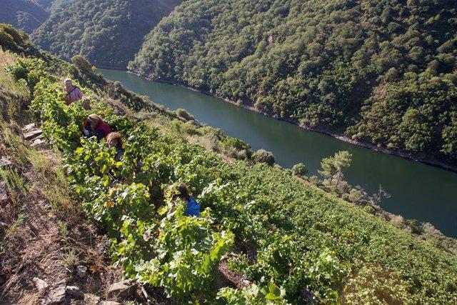 Varios vendimiadores recogen racimos de uvas en el viñedo de la Bodega Algueira de la D.O. Ribeira Sacra de Lugo durante la temporada 2020
