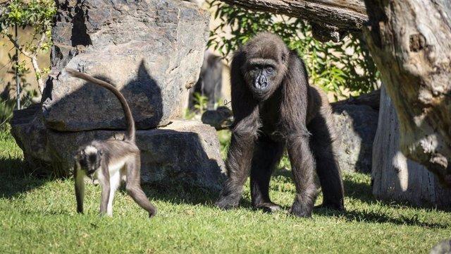 Ebo, el primer gorila nacido en BIOPARC Valencia cumple 8 años