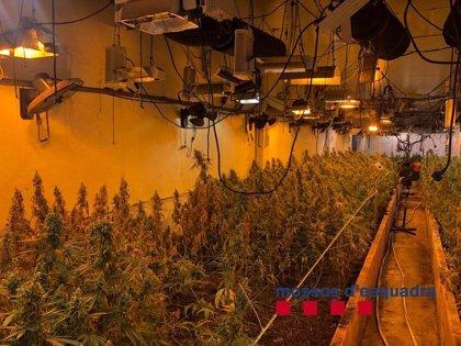 Desmanteladas 1.050 plantas de marihuana en una nave de Vilassar de Dalt (Barcelona)