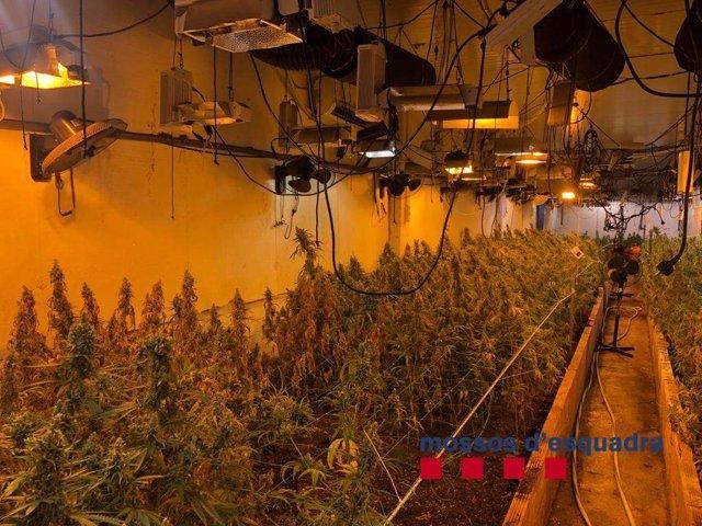 Desmantellen 1.050 plantes de marihuana en una nau de Vilassar de Dalt (Barcelona)