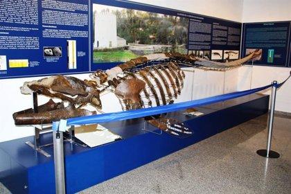 Un libro conmemora el décimo aniversario de la llegada de los restos fósiles de ballena al Museo de Alcalá (Sevilla)