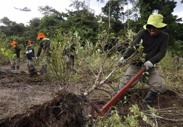 Erradicacion de cultivos de coca en en la ciudad de Caballococha., en el departamento de Loreto, en el noreste de Perú.