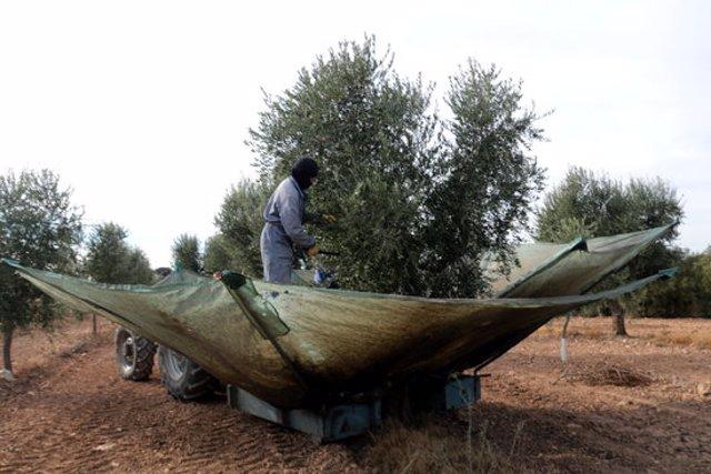 Pla obert d'uns pagesos collint olives en una finca del municipi de  Maials, el 27 d'octubre del 2020. (Horitzontal)