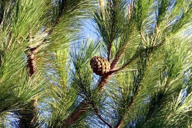 Una pinya en un pi dels terrenys d'Arenys d'Empordà, en una imatge del 26 d'octubre del 2020. (Horitzontal)