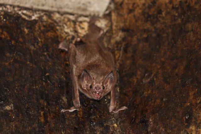 Los murciélagos vampiro guardan distancia social cuando enferman