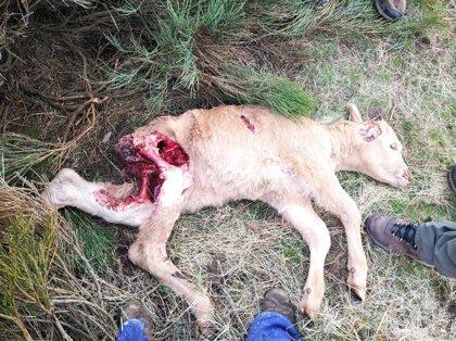 UPA denuncia la muerte de un ternero por el ataque de una lobada en el puerto de Navalmoral (Ávila)
