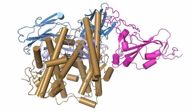 Esta imagen muestra cómo las moléculas situadas en el extremo comercial (azul) de un anticuerpo neutralizante atascan la capacidad de las moléculas en la punta de los picos del coronavirus (rosa) para unirse a un receptor (oro) en la superficie de células