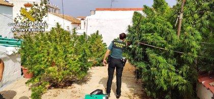 Detenido en Aznalcóllar (Sevilla) por cultivo de marihuana en una vivienda 'okupada'