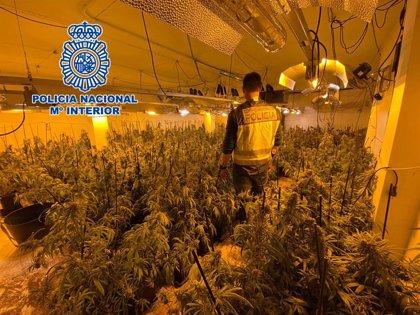 Desmantelan dos plantaciones de marihuana en la Nucia y Altea la Vella y detienen a sus responsables