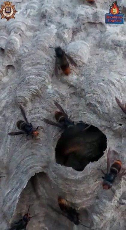 Bomberos de Logroño y Policía Local intervienen para eliminar un nido de avispa asiática en el parque del Ebro