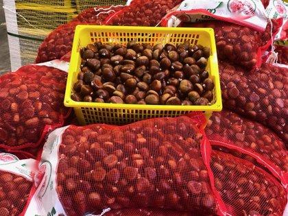 Mercabarna confía en mantener las ventas de castañas y boniatos por la castanyada pese el Covid-19