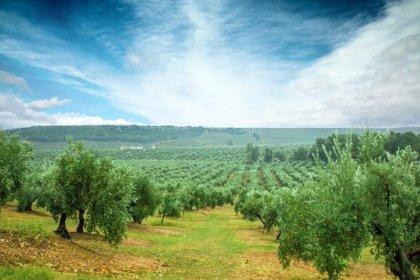 La Diputación de Córdoba actuará en defensa del patrimonio ligado al olivo como fundadora de 'Paisajes del Olivar'