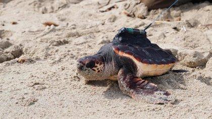 Quienes custodiaron el nido de tortugas nacidas en Ibiza en 2019 eligen el nombre de seis ejemplares liberados con GPS