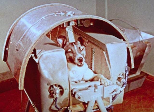 La perra Laika, antes del lanzamiento en el Sputnik 2