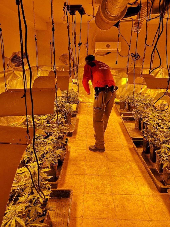 Detenido en Orkoien por cultivar 134 plantas de marihuana y por defraudación de fluido eléctrico