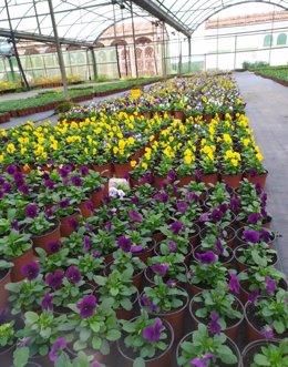 El vivero de la Diputación de Cáceres reparte flores de invierno a los ayuntamientos de la provincia