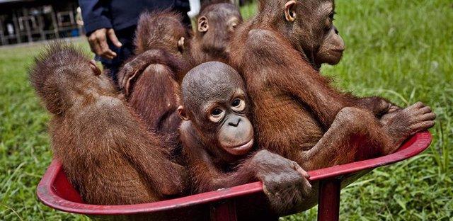 Bebés orangutanes en Kalimantan Central. La expansión de las plantaciones de palma aceitera está destruyendo su hábitat forestal.