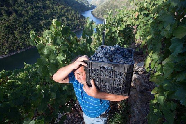 Un vendimiador transporta en una caja parte de la cosecha recogida en el viñedo de la Bodega Algueira de la D.O. Ribeira Sacra de Lugo durante la temporada 2020, en Doade, Lugo, Galicia (España) a 31 de agosto de 2020. La vendimia comienza en Galicia con