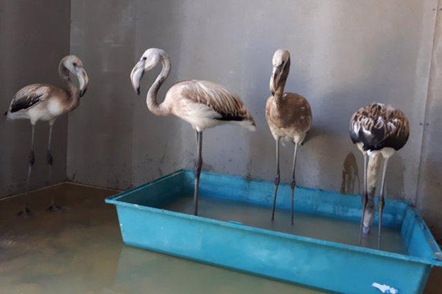 Un grup de flamencs al Centre de Recuperació de Fauna dels Aiguamolls aquest 11 de novembre del 2020. (Horitzontal)