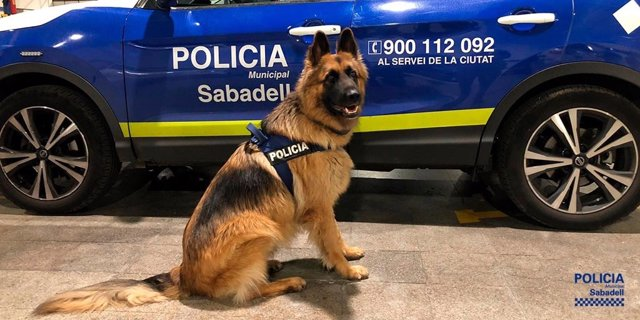 El gos policia Danko de la Policia Municipal de Sabadell.
