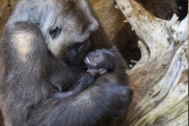 Primera cría de gorila nacido en Andalucía, en las instalaciones de Bioparc Fuengirola