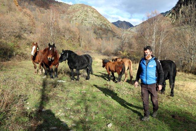 Pla general d'un ramader amb un ramat de cavalls pirinencs català a un prat de Tavascan, al Pallars Sobirà. Imatge de l'11 de novembre del 2020. (horitzontal)