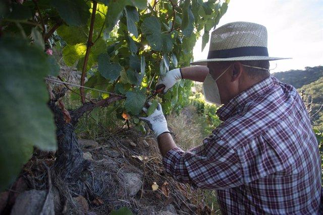 Un vendimiador corta racimos de uvas en el viñedo