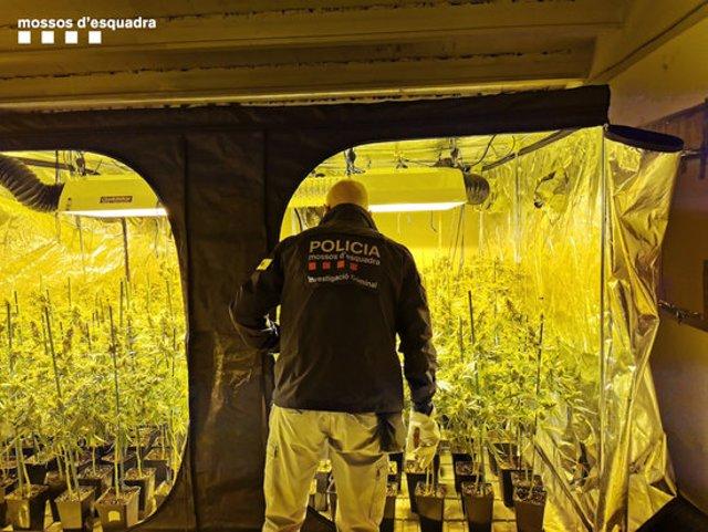 Un agent dels Mossos davant de la plantació de marihuana en una casa de colònies de Manresa. 12 de novembre del 2020. (Horitzontal)