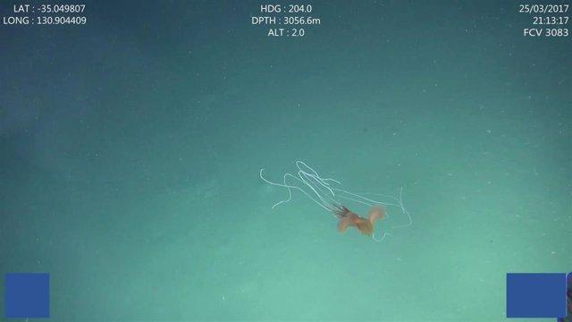 Imagen de uno de los calamres gigantes filmados a gran profundidad