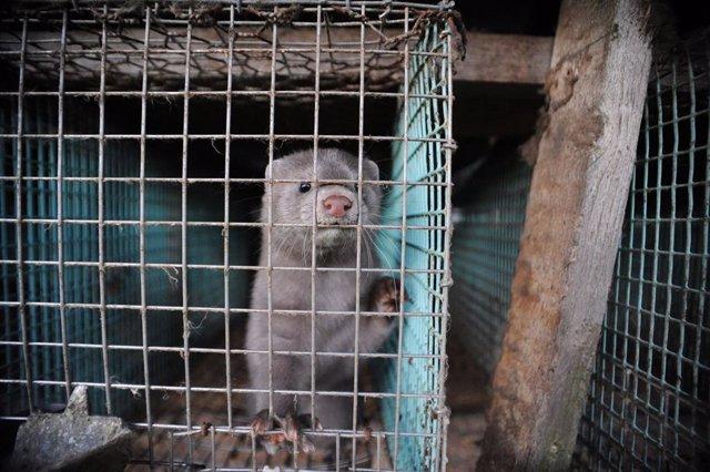 WWF reclama el cierre de las granjas de visones en Europa.