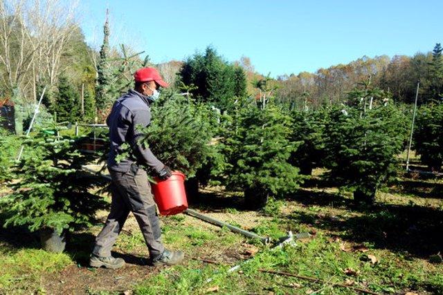Un treballador d'una finca de les Guilleries on es cultiven arbres de Nadal, traslladant un avet. Imatge publicada el 14 de novembre del 2020 (Horitzontal)