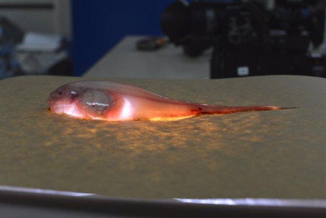 Un pez caracol iluminado recogido de la fosa de Kermadec en el suroeste del Océano Pacífico.