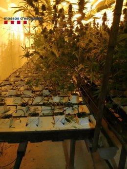 Plantación de marihuana subterránea descubierta por los Mossos