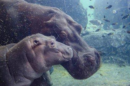 Gori, el bebé hipopótamo de Bioparc Valencia cumple seis meses