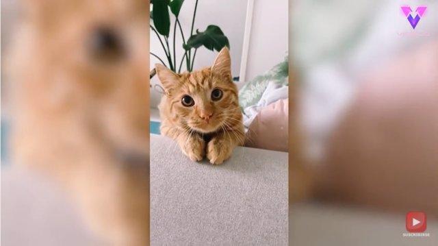 """Con cara de """"gato con botas"""", este gato pelirrojo de ojos grandes y redondo consigue chucherías de su dueña"""