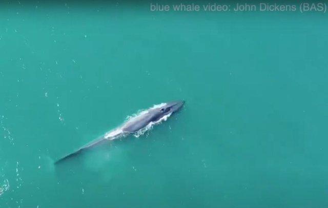 Ballena azul en Georgia del Sur