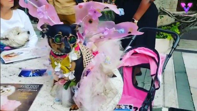 Este perro pasó de vivir en la calle a tener un armario valorado en 10.000 dólares