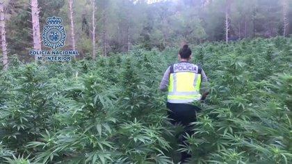La Policía Nacional detiene a 3.695 personas y desmantela más de 800 plantaciones de marihuana desde agosto de 2019