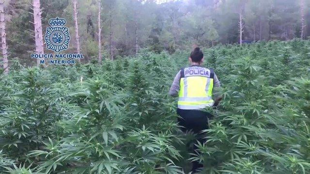 Han sido intervenidas 496.047 plantas y se han incautado 25.642 kilos de este estupefaciente, 23.849 kilos de hachís, 3.140 kilos de cocaína, 85 kilos de heroína, 458 armas de fuego y más de 7.600.000 euros